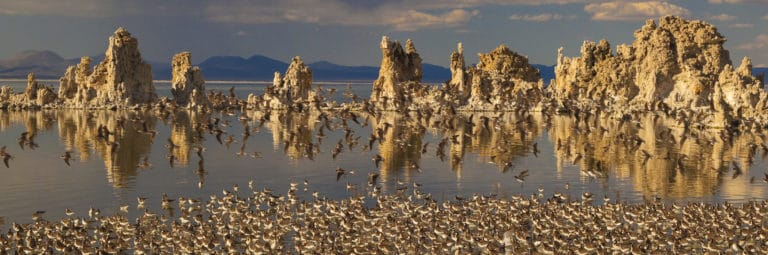 Over one hundred small shorebirds stand together on the Mono Lake shoreline, with some in flight too, with golden tufa towers in the background and dramatic stormy skies in the distance.